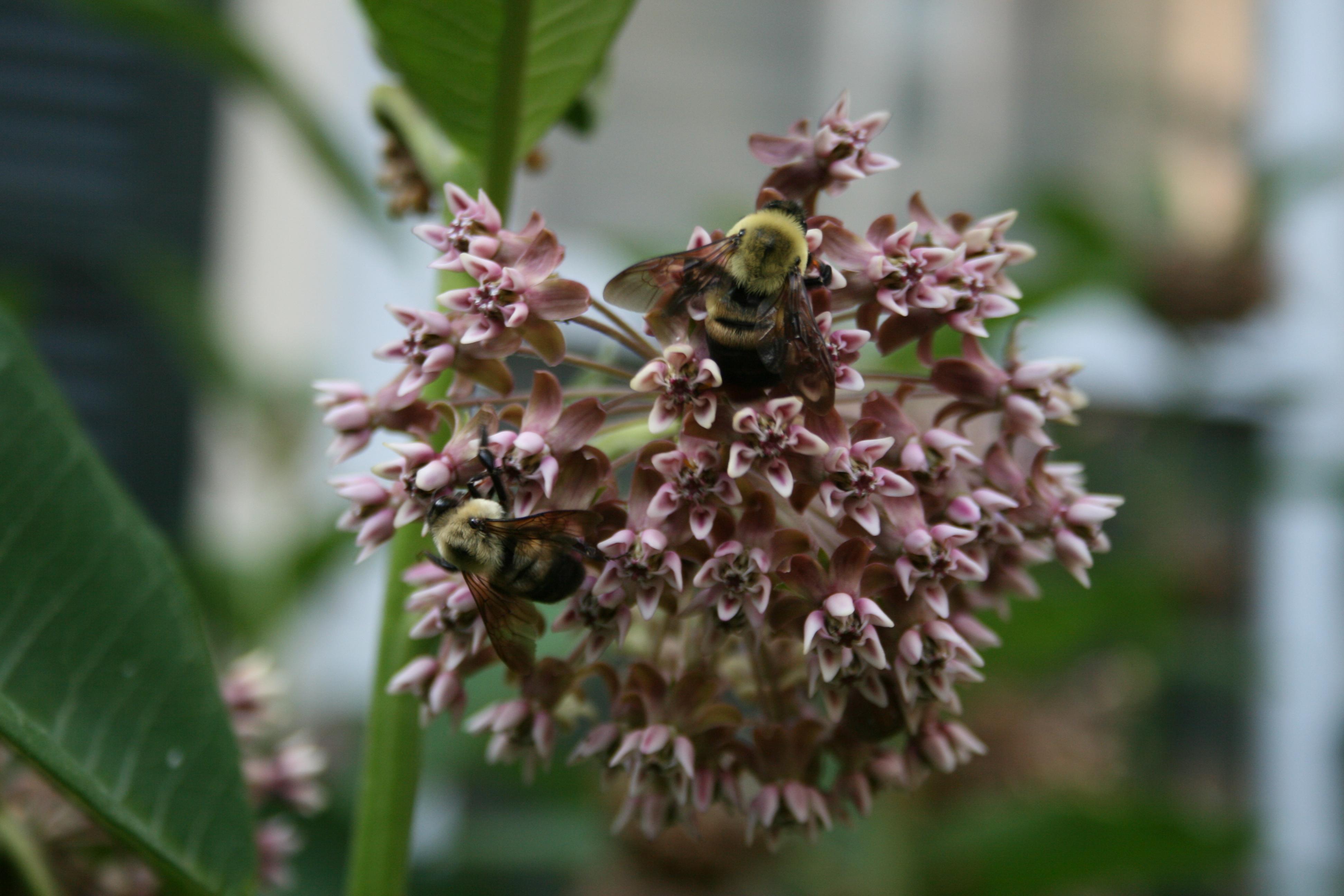 Bees on milkweed