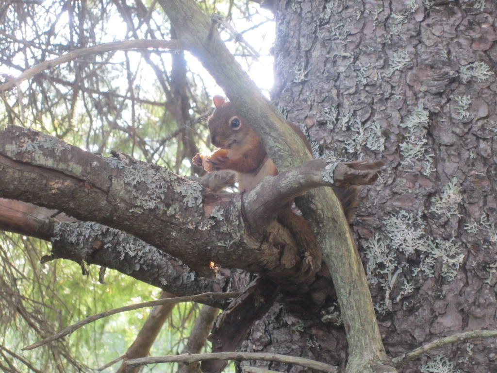 Our neighborhood red squirrel