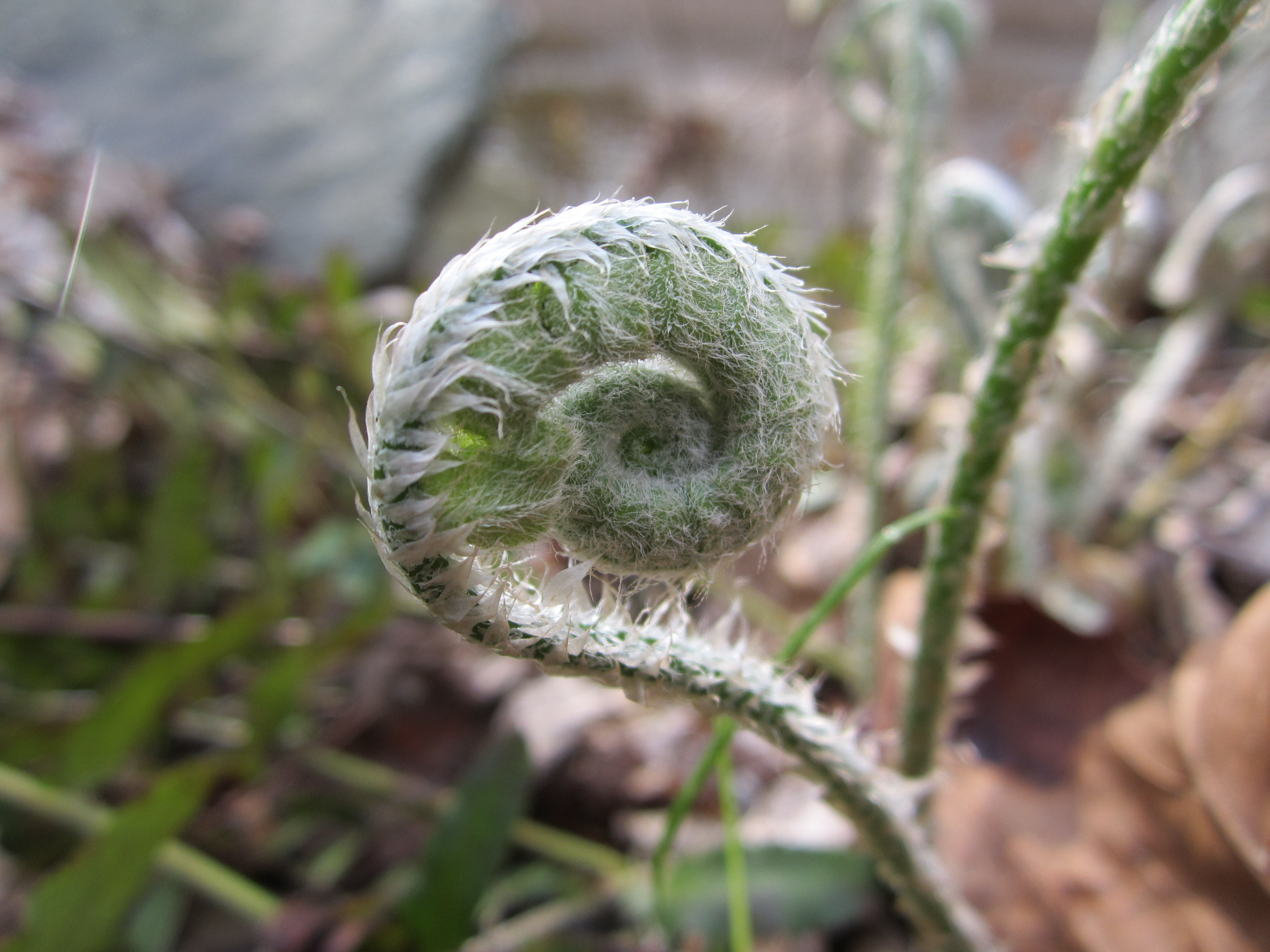 Fiddlehead at Locust Grove Nature Center, March 2012