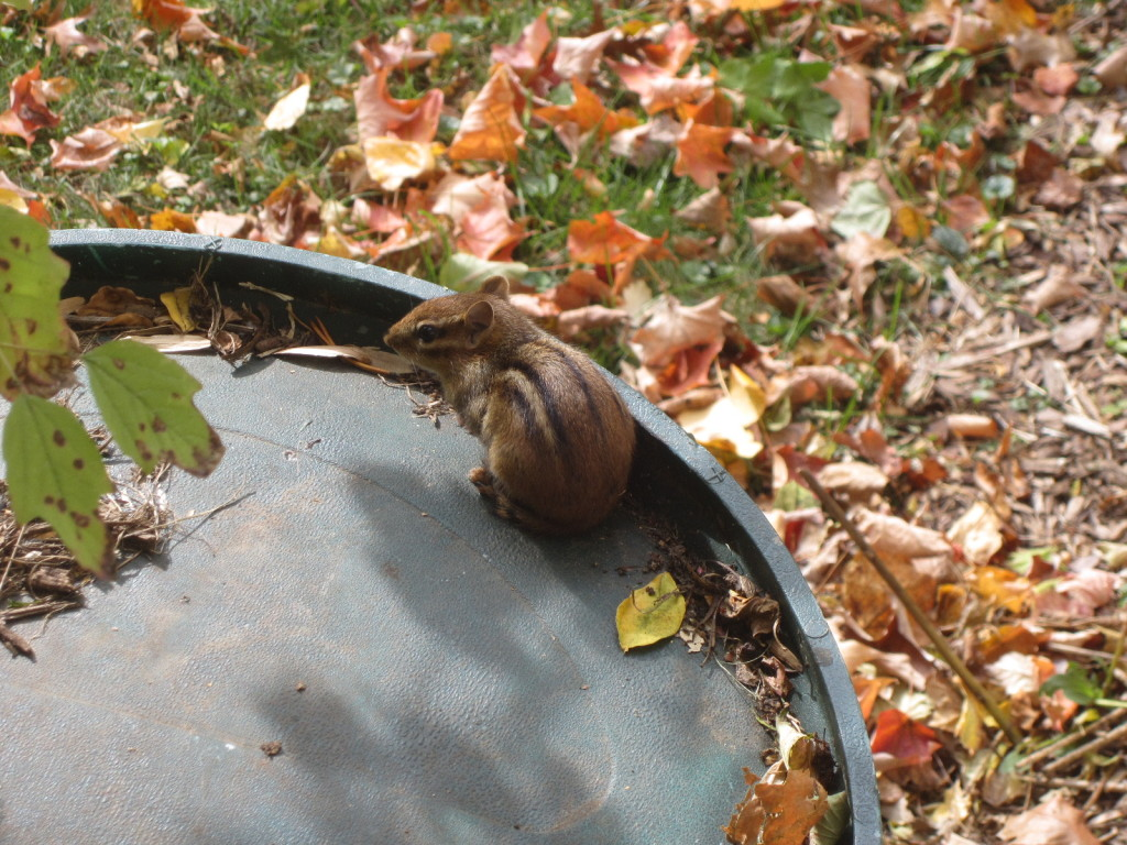 Chipmunk on my rain barrel