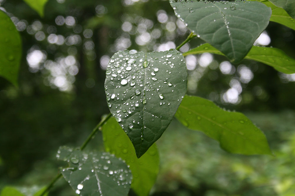 Silver drops on a leaf