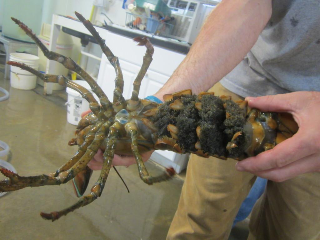 Female lobster with eggs at the Oceanarium in Bar Harbor